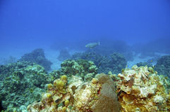 Coral reef and parrotfish Stock Image