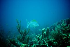 Coral Reef, peixes tropicais e vida do oceano no mar das caraíbas Fotografia de Stock Royalty Free