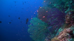 Coral reef in Philippines. Colorful coral reef in Philippines stock video
