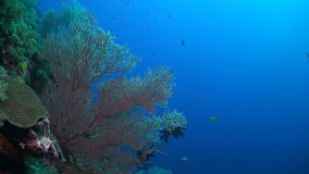 Coral reef in Philippines. Colorful coral reef in Philippines. Huge sea fan with anthias, Damselfish and Grey Reef Shark stock footage