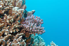 Coral reef with pink pocillopora coral in tropical sea, underwat Stock Photos