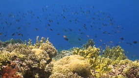 Coral reef with plenty fish stock video footage