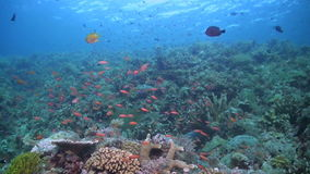 Coral reef with plenty fish. Coloful coral reef with plenty fish stock footage