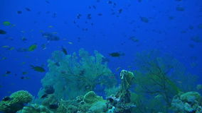 Coral reef with plenty fish. And huge sea fans. Snapper, Butterflyfish, Damselfish, Surgeonfish, Unicornfish, Anthias stock footage