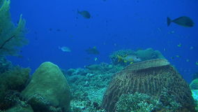 Coral reef with plenty fish. And huge sea fans. Snapper, Butterflyfish, Damselfish, Surgeonfish, Unicornfish, Anthias stock video
