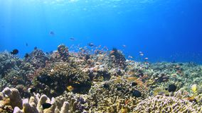 Coral reef with plenty fish 4k. Colorful coral reef with plenty fish. 4k footage stock video footage