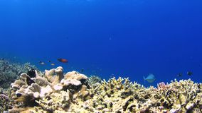 Coral reef with plenty fish 4k stock video footage