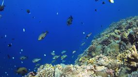Coral reef with plenty fish 4k stock video