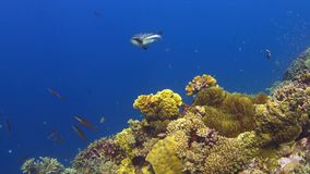Coral reef with plenty fish 4k. Colorful coral reef with plenty fish 4k footage stock video footage