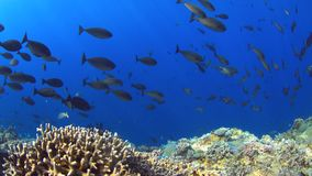 Coral reef with plenty fish 4k. Colorful coral reef with plenty fish. 4k footage stock footage