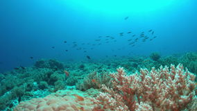 Coral reef with plenty fish 4k. Colorful coral reef with healthy corals and plenty fish. 4k footage stock video footage
