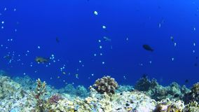 Coral reef with plenty fish 4k. Colorful coral reef with Unicornfish, Grouper, Fusiliers and Damselfih. 4k footage stock video