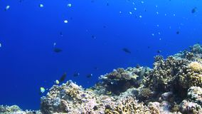 Coral reef with plenty fish 4k. Colorful coral reef with Unicornfish, Grouper, Fusiliers and Damselfih. 4k footage stock video footage