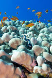 Coral reef with porites corals , blue clam and exotic fishes ant Royalty Free Stock Photo