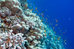 Coral reef with porites corals  and exotic fishes anthias at the bottom of tropical sea Stock Photo