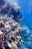 Coral reef with porites corals and goatfishes Stock Photo