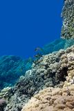 Coral reef with porites corals and goatfishes at the bottom of tropical sea on blue water background Stock Photo