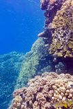 Coral reef with porites corals and goatfishes at the bottom of tropical sea on blue water background Stock Photos