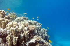 Coral reef with porites corals in tropical sea, underwater Stock Images