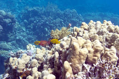 Coral reef with porites corals in tropical sea, underwater Royalty Free Stock Photos