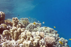 Coral reef with porites corals in tropical sea, underwater Royalty Free Stock Photo