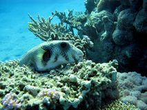 Coral reef with puffer fish Royalty Free Stock Photo