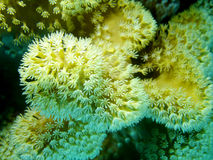 Coral reef with Pulsing polyp coral in tropical sea, underwater. Coral reef with white  Pulsing polyp coral at the bottom of tropical sea, underwater Royalty Free Stock Images