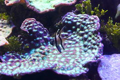 Reef detail hard coral with purple fish Stock Images
