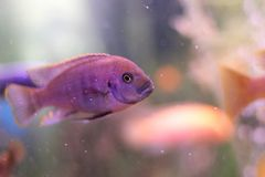 Coral reef, purple fish stock photo