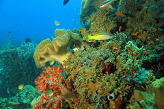 Coral Reef Raja Ampat Royalty Free Stock Photos