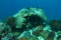 Coral reef. (Raja Ampat, Papua Barat, Indonesia Royalty Free Stock Image