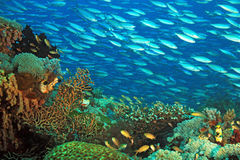 Coral Reef Raja Ampat. Schooling Fusiliers over a Colorful Coral Reef. Gam, Raja Ampat, Indonesia Stock Photography