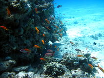 Coral reef and red fish Stock Photo