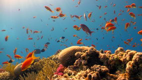 Coral reef red fish Stock Photos