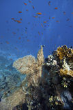 Coral reef in the red sea. Of egypt with colourful fishes around Stock Image