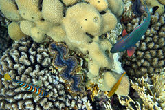 Coral reef of the Red sea Royalty Free Stock Photography