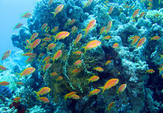 Coral Reef Red Sea Royalty Free Stock Image