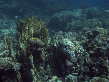 Coral reef in the Red Sea. Stock Images