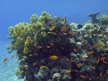 Coral reef in the Red Sea. Stock Image