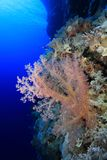 Coral reef of the Red sea. Beautiful soft coral in the tropical reef of the red sea Stock Images