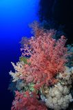 Coral reef of the Red sea. Beautiful soft coral in the tropical reef of the red sea Royalty Free Stock Photography