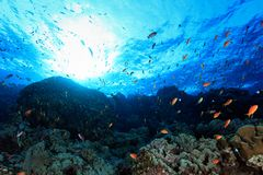 Coral reef in the Red sea. Coral reef and colorful fish in the red sea Stock Photo