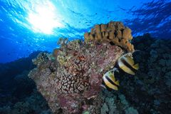 Coral reef in the Red sea. Coral reef and colorful bannerfish in the red sea Royalty Free Stock Photography