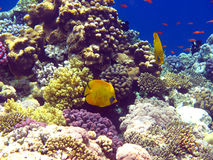 Coral reef in Red sea Stock Image