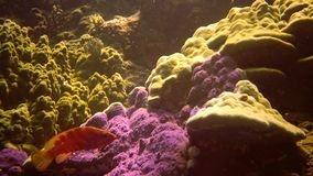 Coral reef in the Red Sea, Abu Dub. Beautiful underwater landscape with tropical fish and corals. Life coral reef. Egypt stock video footage