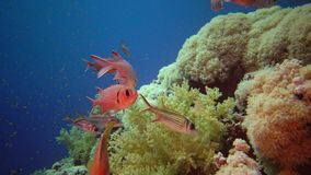 Coral reef in the Red Sea, Abu Dubb. Beautiful underwater landscape with tropical fish and corals. Life coral reef. Egypt, Marsa Alam, Abu Dabab stock video