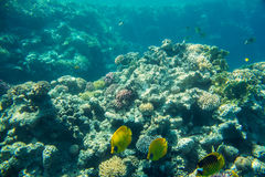 Coral reef  of the red sea Stock Photos