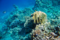 Coral reef  of the red sea. Beautiful and diverse  coral reef and fish of the red sea Royalty Free Stock Images