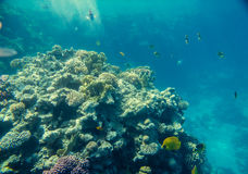 Coral reef  of the red sea Stock Image