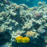 Coral reef  of the red sea. Beautiful and diverse  coral reef and fish of the red sea Royalty Free Stock Photo
